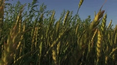 Hand touching wheat during summer Stock Footage