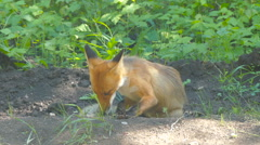 Young fox resting summer day Stock Footage