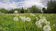 Field of dandelion seed heads, time lapse 4K Stock Footage