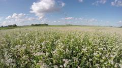 Field of buckwheat, time lapse 4K Stock Footage