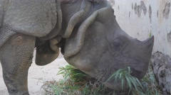 Head of indian rhino eating hay,Bhubaneswar,Nandankanan Zoo,India Stock Footage