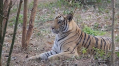 Tiger sitting in bushes,Bhubaneswar,Nandankanan Zoo,India Stock Footage