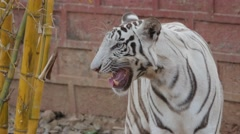 White tiger moaning,Bhubaneswar,Nandankanan Zoo,India Stock Footage