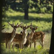 Group of young Fallow Deer dama dama stags in countryside landscape - stock photo