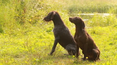 Couple Pointing dogs for hunting waterfowl Stock Footage