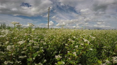 Field of buckwheat on sunny cloudy day, 4K Stock Footage