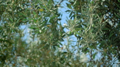 Green olives on olive tree Stock Footage