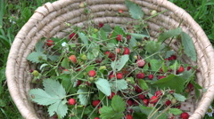 Wild strawberries in wicker basket, 4K Stock Footage