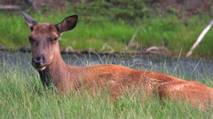 4K Young Elk Sits In Green Grass Near Running Stream Stock Footage