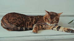 Bengal cat lying and touching ring - stock footage