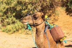 Flies on camel head Stock Photos
