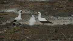 Nazca booby family on isla genovesa in the galalagos islands Stock Footage