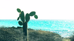 Pickly pear cactus at bachus beach on isla santa cruz in the galapagos Stock Footage