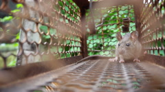 Rat trapped in cage Stock Footage