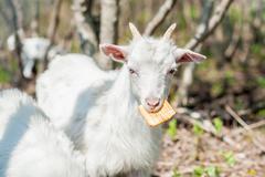 The goat eats a cracker - stock photo