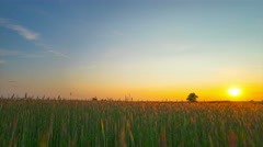 8K sunset over a field of rye, panoramic time-lapse - stock footage