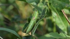 Grasshopper dancing feet and crawls Stock Footage