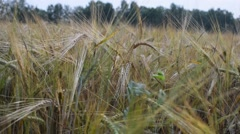 Large field of rye in the summer - stock footage