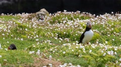 Puffin in Grass Stock Footage