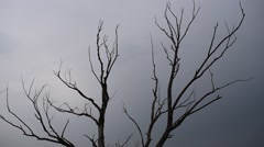 Dead tree against a gray sky. Stock Footage