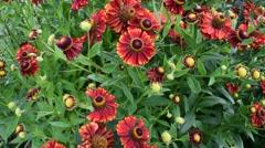 Flowers in the garden - Helenium Stock Footage