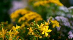 Bunch of medicinal herbs.  Achillea millefolium, Saint-John's-wort, tansy Stock Footage
