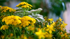 Collection of medicinal herbs. Tansy, yarrow and hypericum Stock Footage