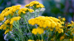 Healing herbs. Collection of medicinal herbs. Tansy, yarrow and hypericum Stock Footage