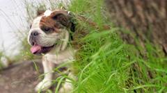 champion male english bulldog in the grass - stock footage