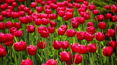 Beautiful red tulips swaying in the wind Stock Footage