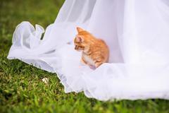 Red kitten on a wedding dress Stock Photos