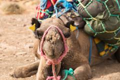 Flies on camel head. Stock Photos
