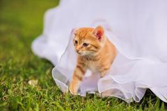 Red kitten under the wedding dress Stock Photos