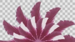 Carnival pink and white feathers - With Alpha Stock Footage