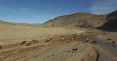 Drone footage of horses running on arid landscape, High Atlas, Morocco Stock Footage