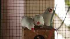 Lovebirds in a cage. Stock Footage