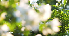 Beautiful jasmine white flowers in summer day focus pull Stock Footage