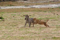 Lion hunting Kuvituskuvat