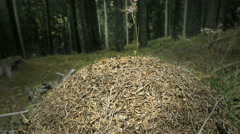 Ants nest in the woods Stock Footage