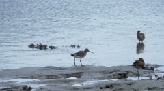 Black-tailed godwits, Sandpipers, Whimbrel,  4K video Stock Footage