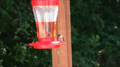 Hummingbird hovers after feeding, slow motion Stock Footage