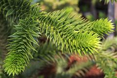 Araucaria araucana. Beautiful nature of the Crimea Stock Photos