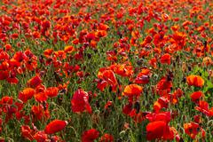 Blooming field of red poppies - stock photo