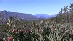 Protea bush and mountains Stock Footage