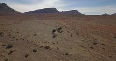 Drone footage of camels walking at Erg Chebbi, Morocco Stock Footage