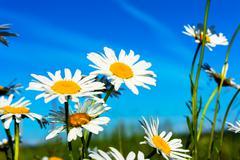 White daisies on blue sky background Stock Photos