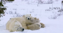 Medium shot zooms in to tighter shot of Polar Bear sow and cubs resting. They Stock Footage