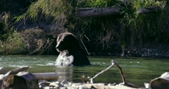 A Grizzly bear swimming quickly through a river in Bella Coola. Stock Footage