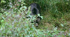 A Grizzly bear walking through the grass and bush. Stock Footage