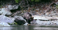 A Grizzly sow and her two cubs walking on the rocky river's edge. Stock Footage